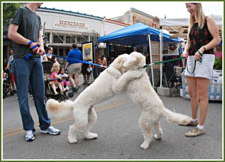 Adrienne D.'s RILEY meets up with another Timshell Farm Goldendoodle at the Texas Poppy Festival!