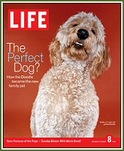 Timshell Goldendoodle Sadie makes the cover of Life Magazine! (© Life Inc. 2004, used with permission)