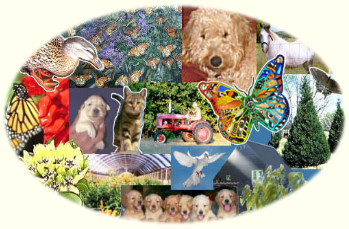 Timshell Farm for Goldendoodle Puppies as seen on Life Magazine. Live Monarch Butterflies hand raised for your wedding or special event. Butterfly Raising Manuals and Really Big Butterfly Coloring Book. Organic Pecans and Living Christmas Trees. Airedoodle puppies. Goldendoodle Crossback puppies.